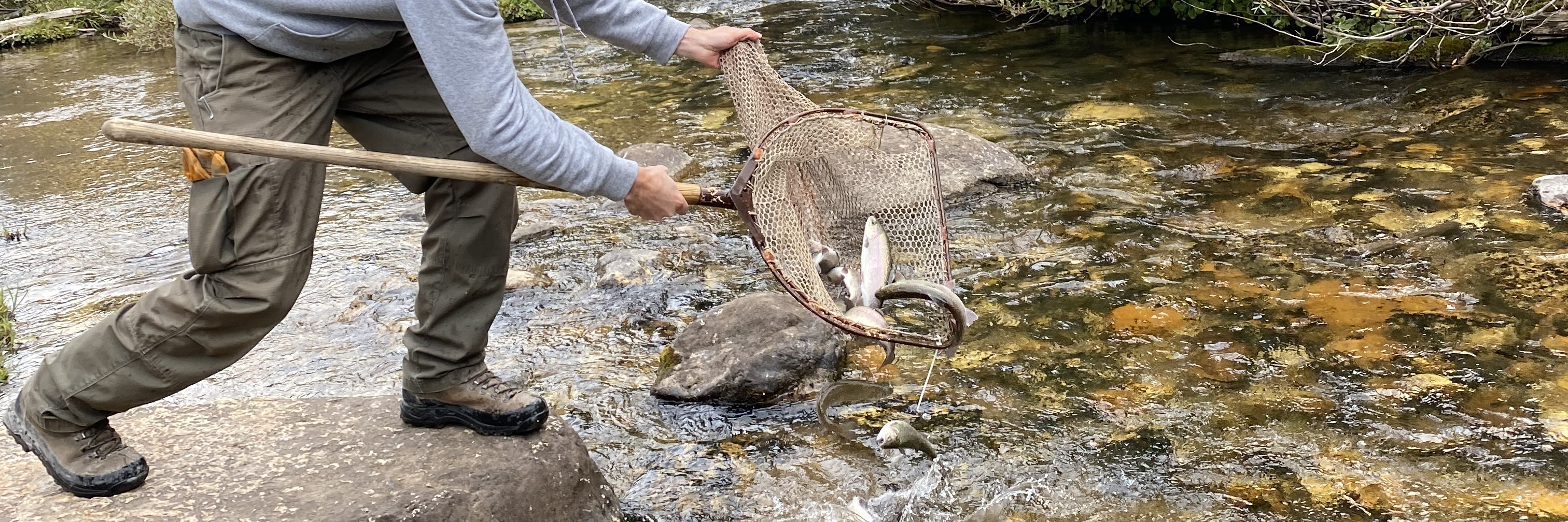 Fish in a net are emptied into a shallow stream