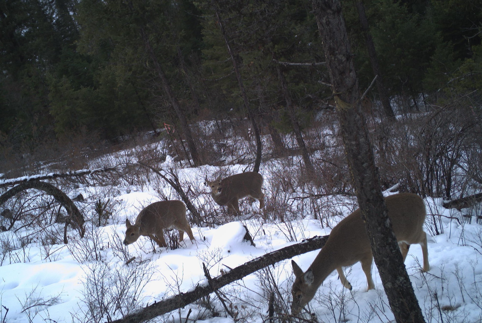 Whitetail browse