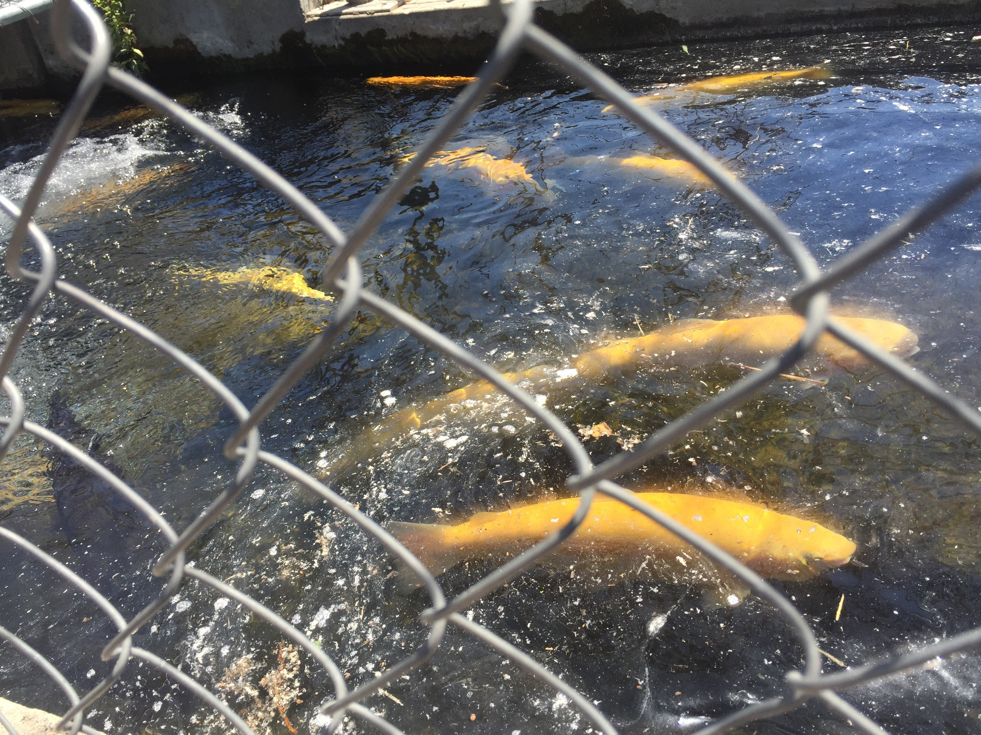 Hagerman Fish Hatchery show pond fish run with yellow rainbow trout tight shot June 2015