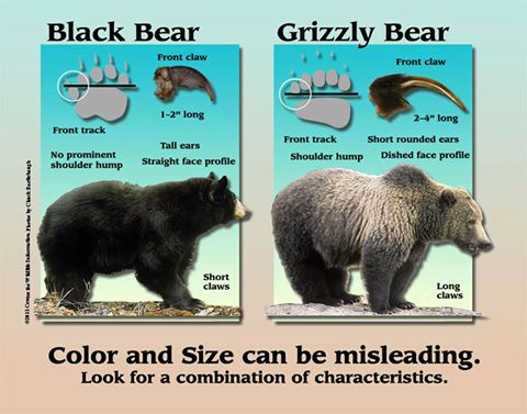 Difference between grizzly bear and black bears