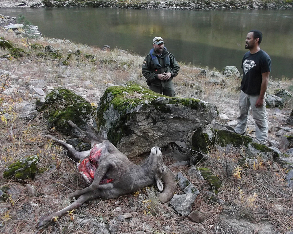 Bighorn sheep poaching, Salmon River, 2015