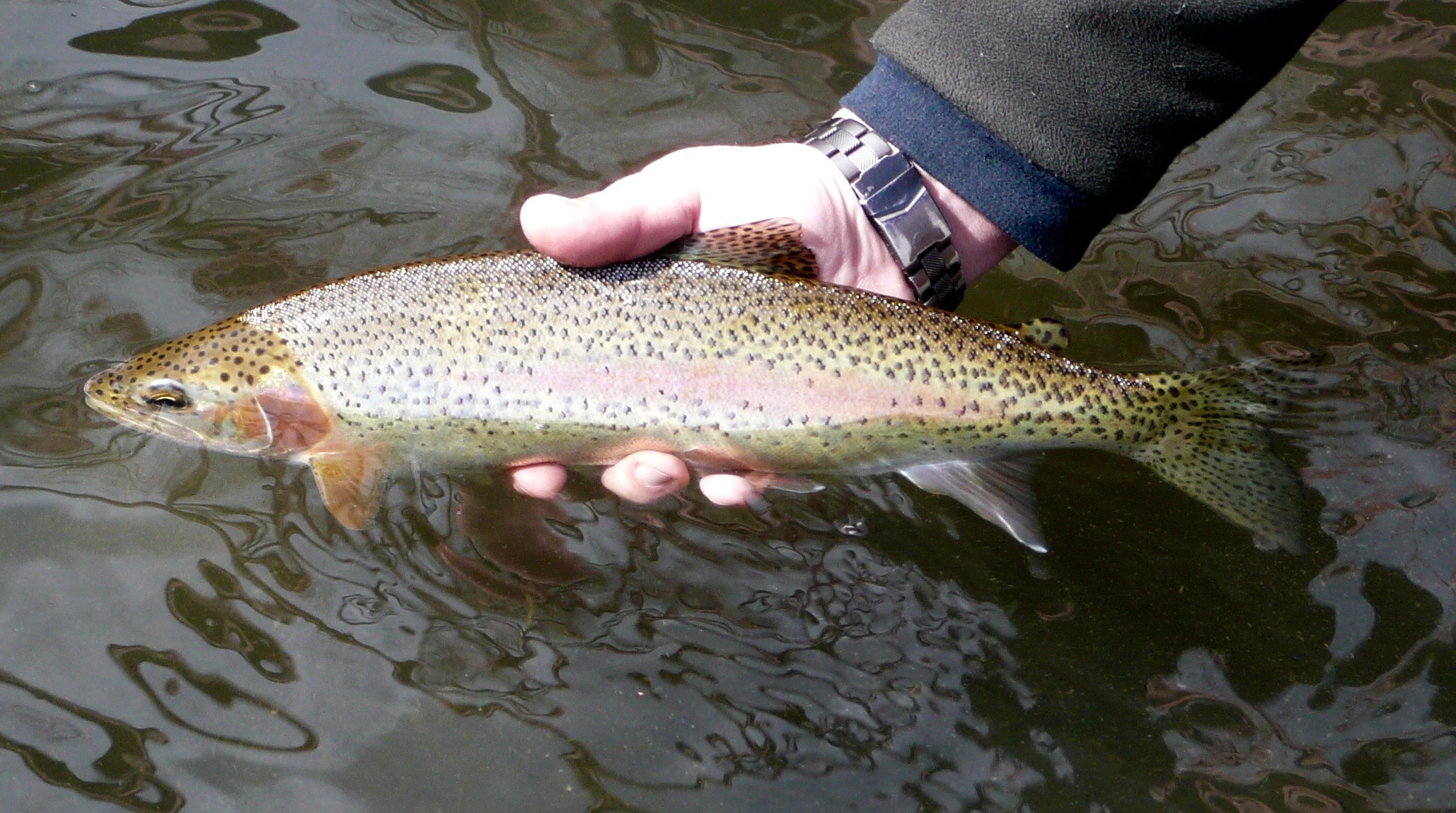Rainbow trout, Boise River, Southwest Region