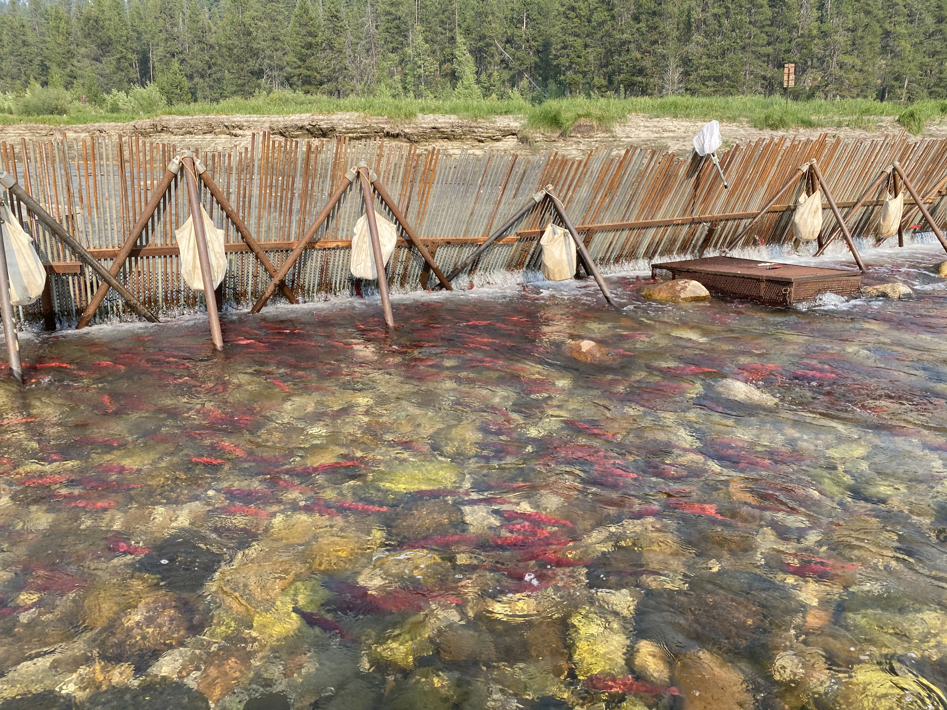 Deadwood weir with red fish