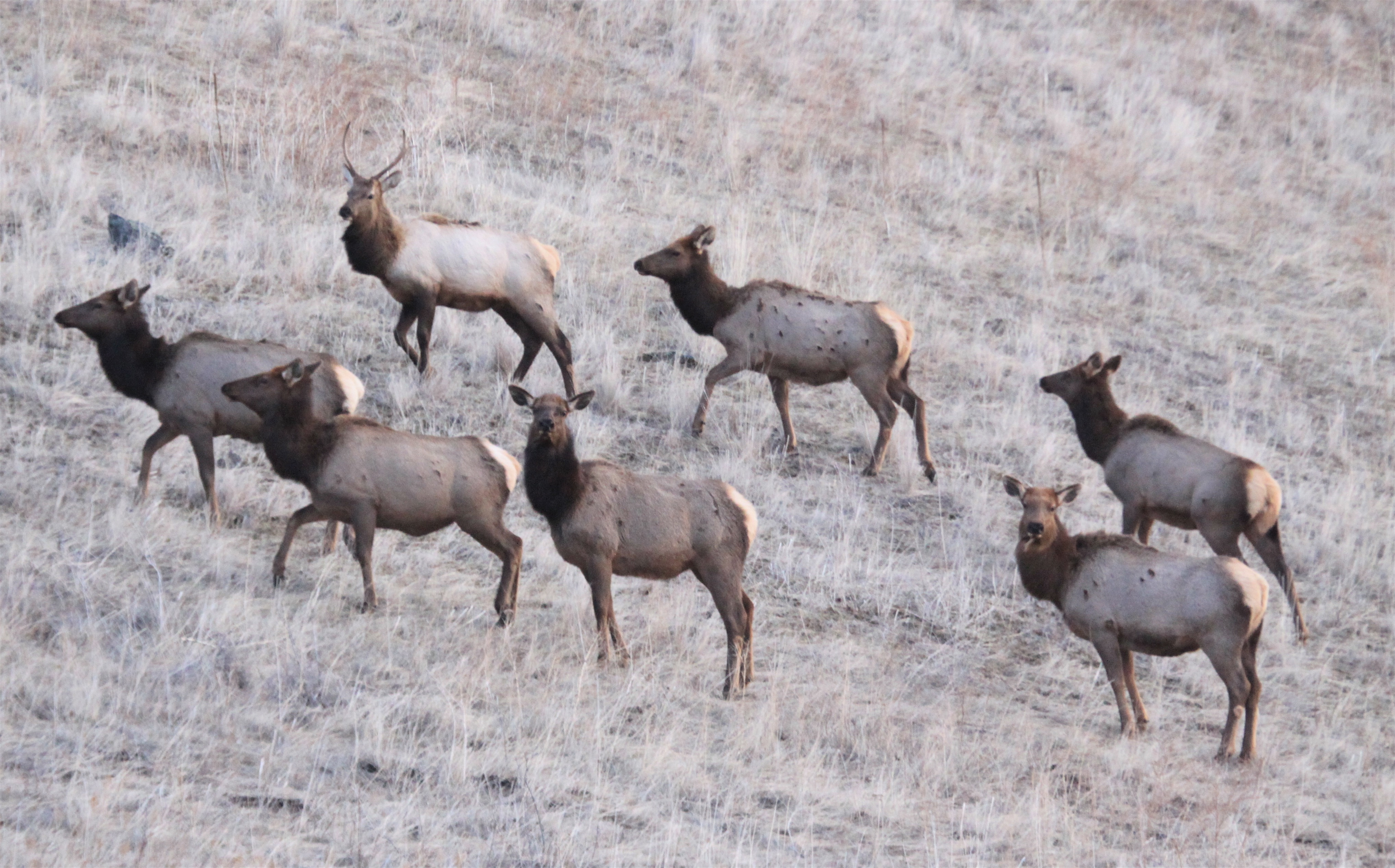 Elk, Southwest Idaho