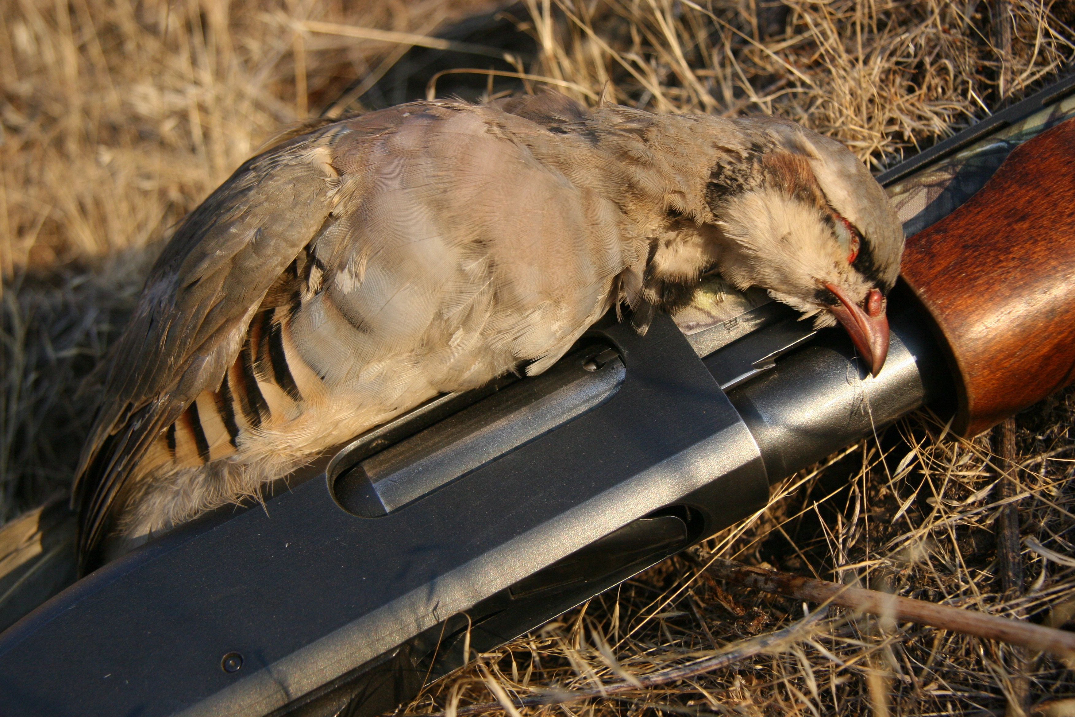 2016 upland bird forecast above average to average in for Idaho fish and game hunter report