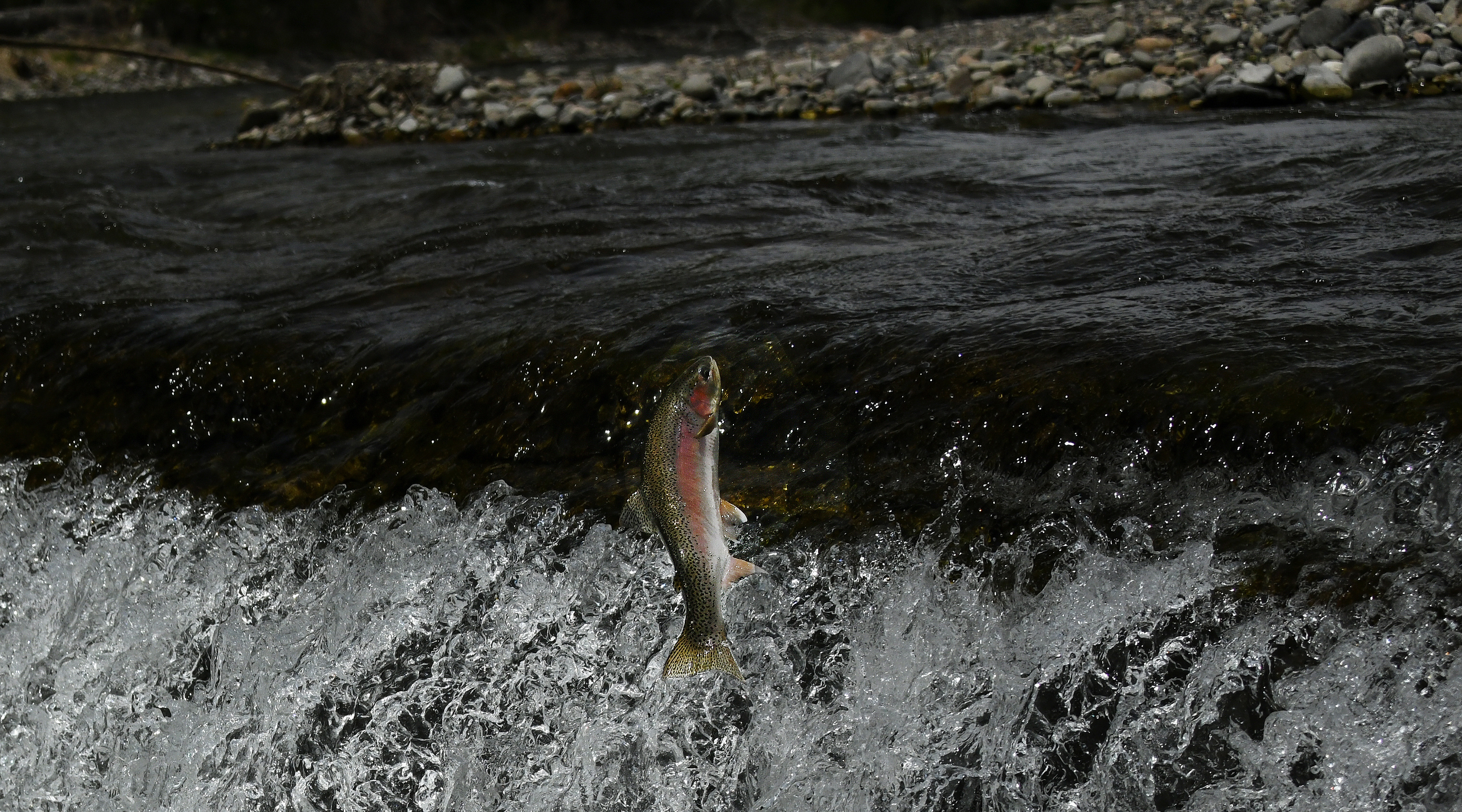 leaping_rainbow_trout_big_wood_river_may_2020_cropped