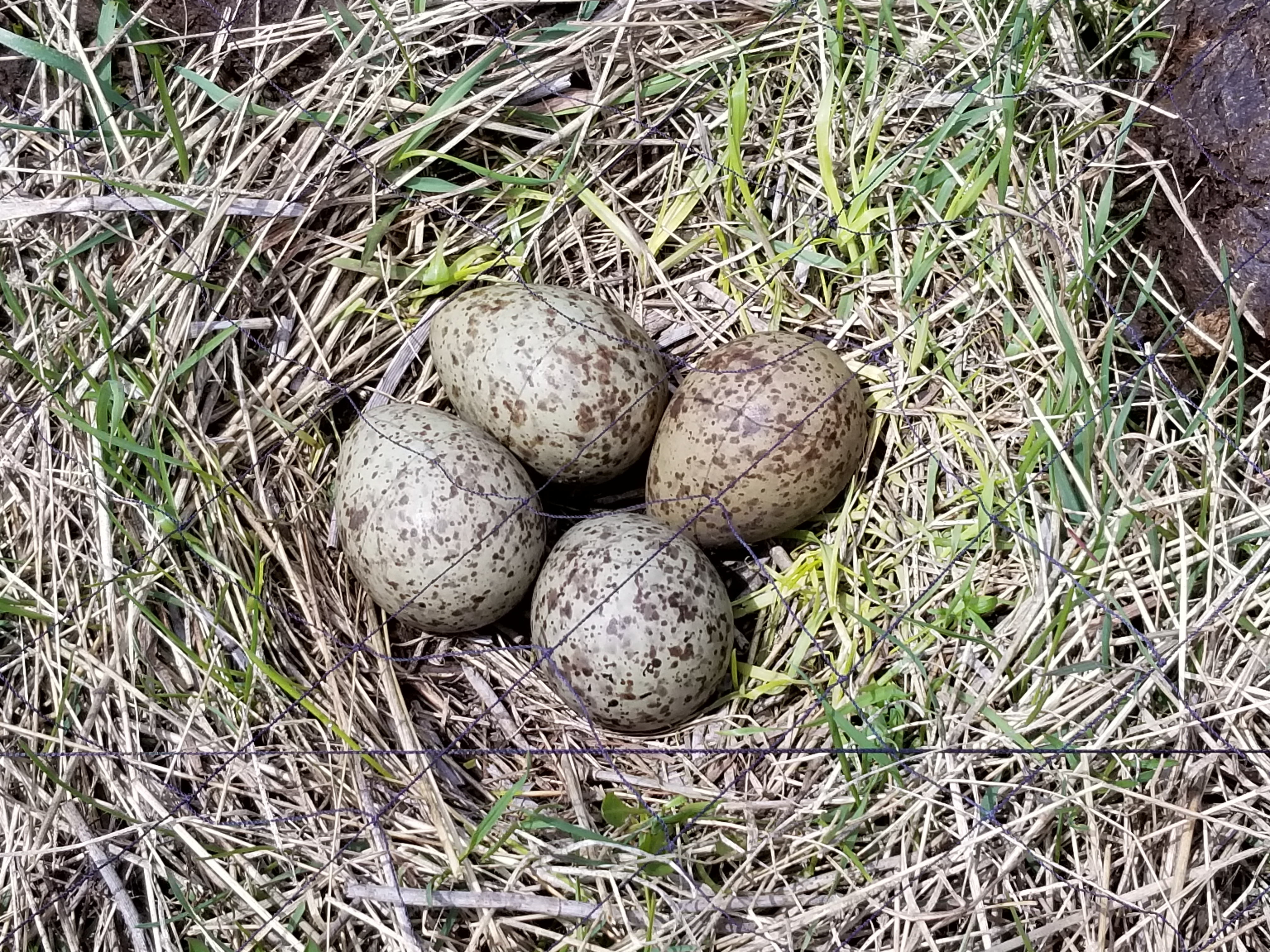 Long-billed Curlew Nest