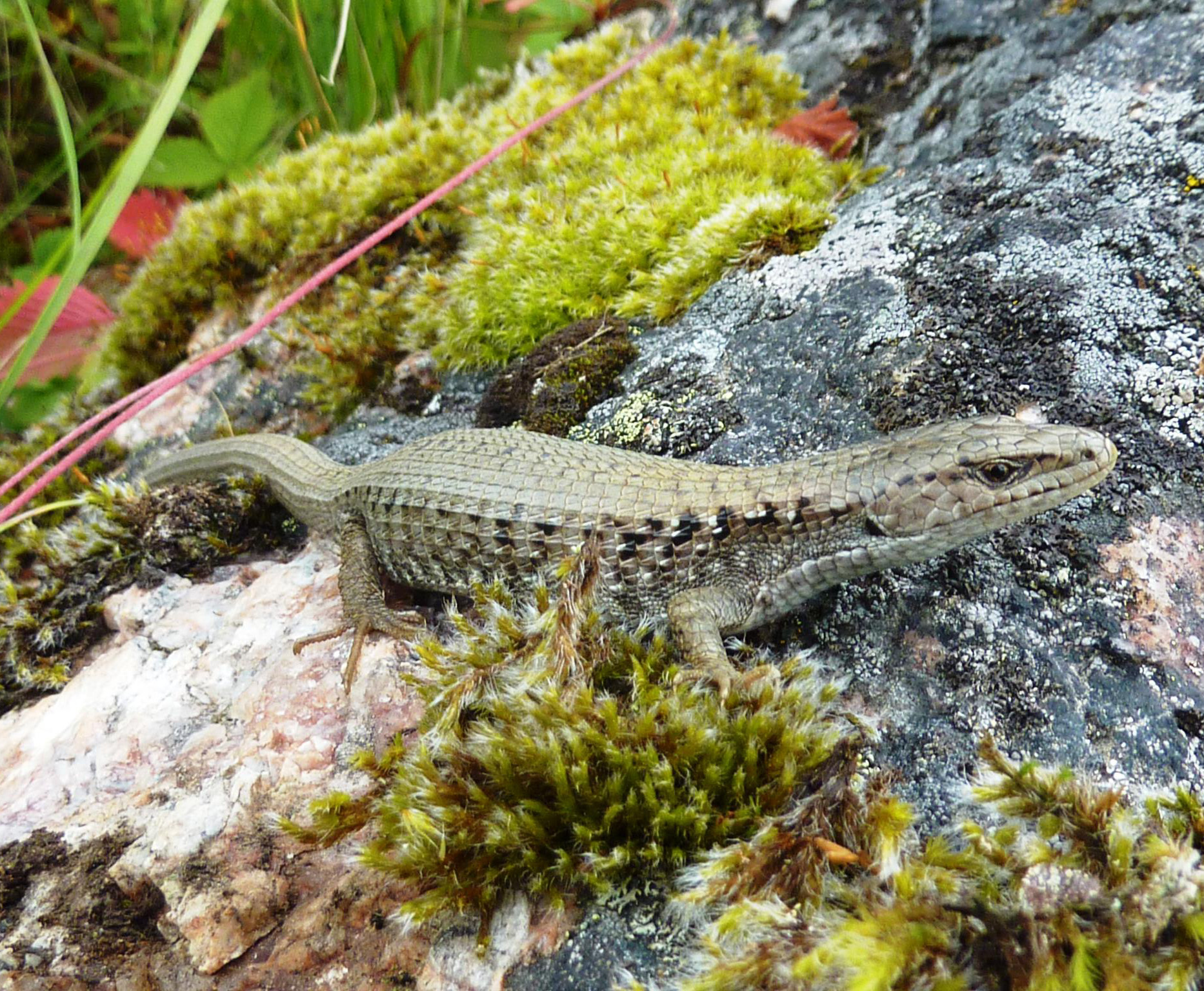 Northern Alligator Lizard Photo