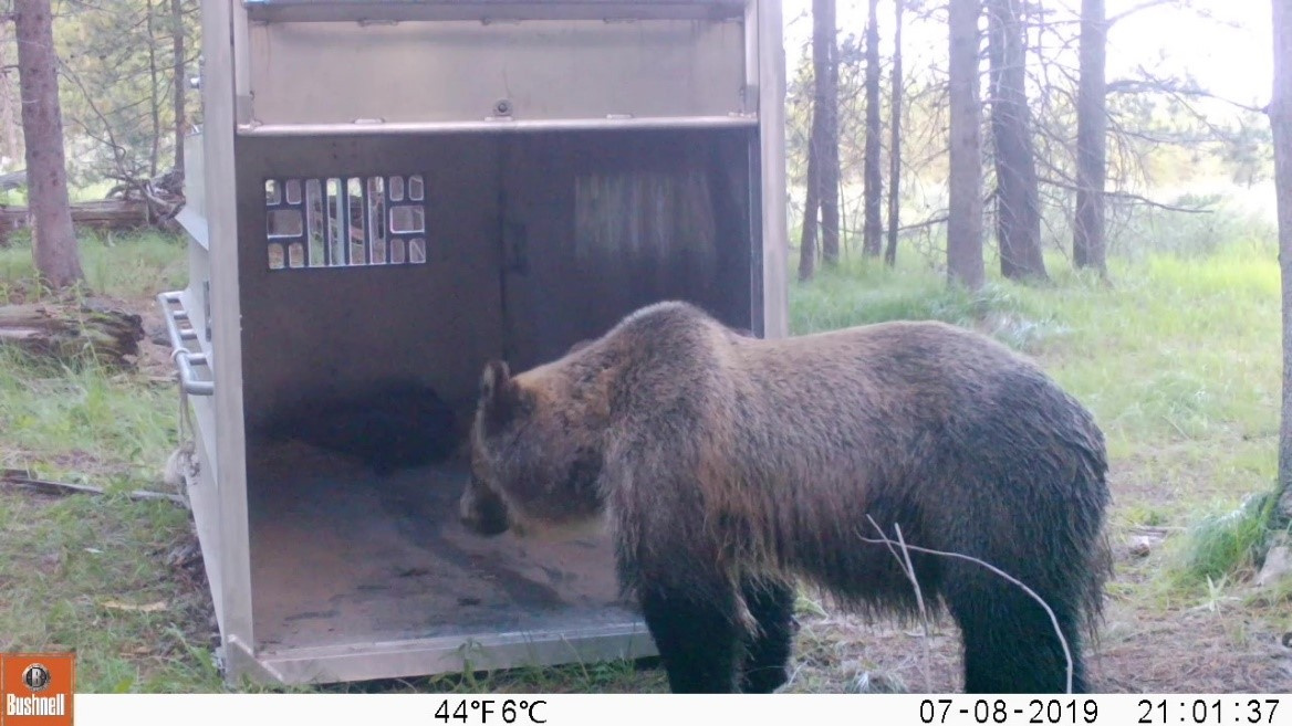 Grizzly Bear Research Trapping