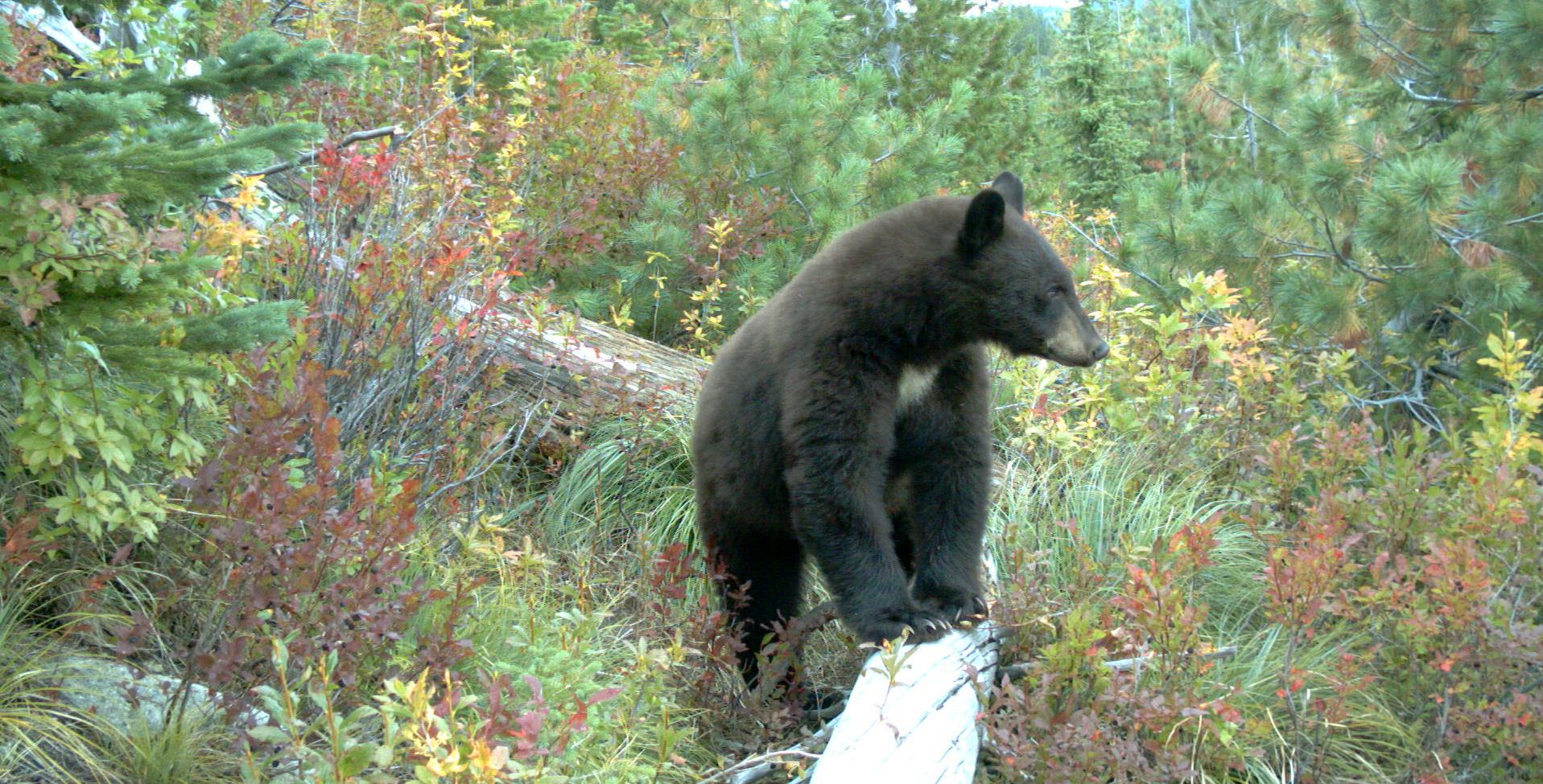 Black bear with huckleberries in the background