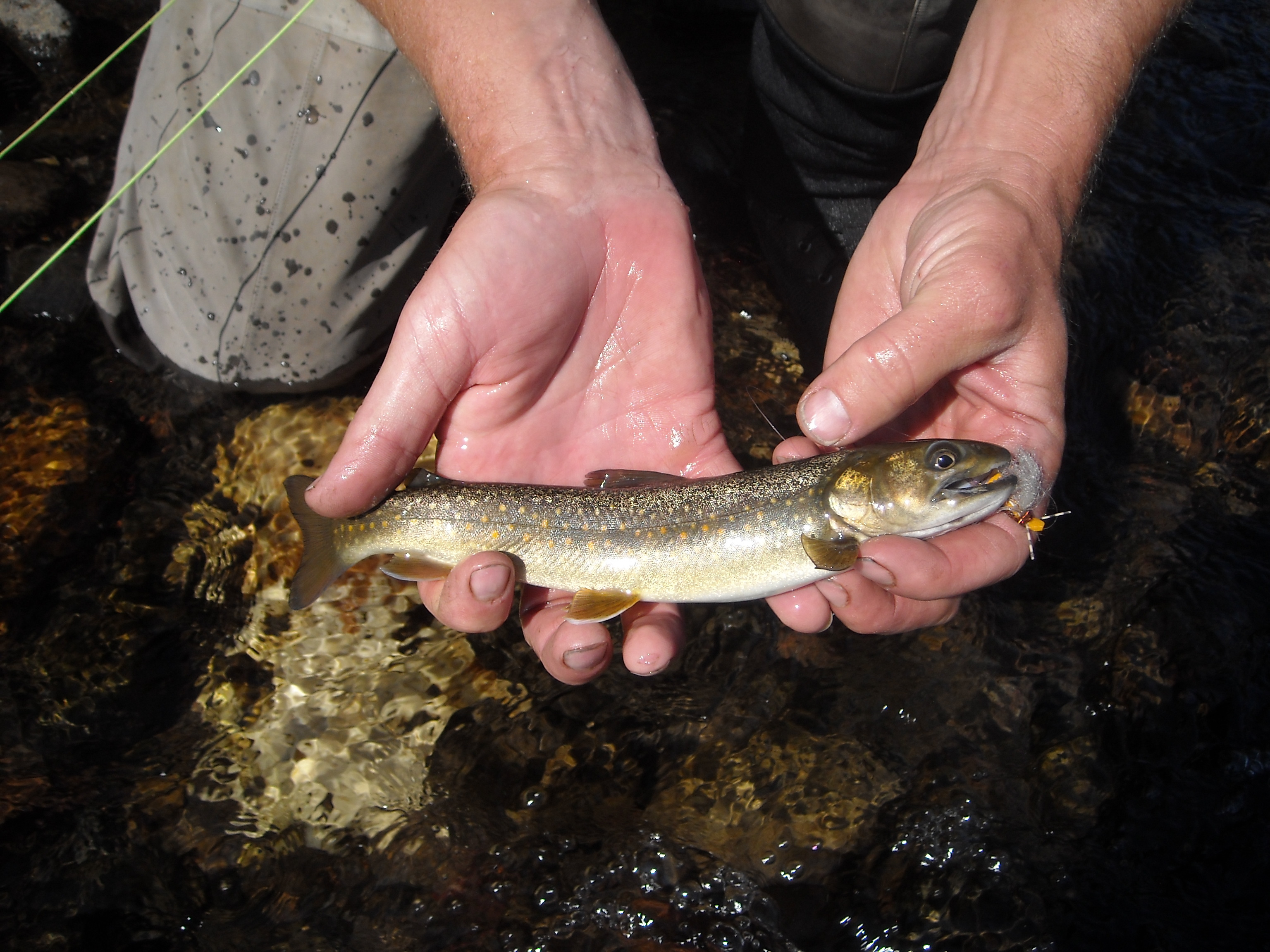 Resident Bull Trout