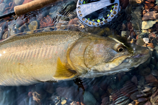 Bull trout and fly rod