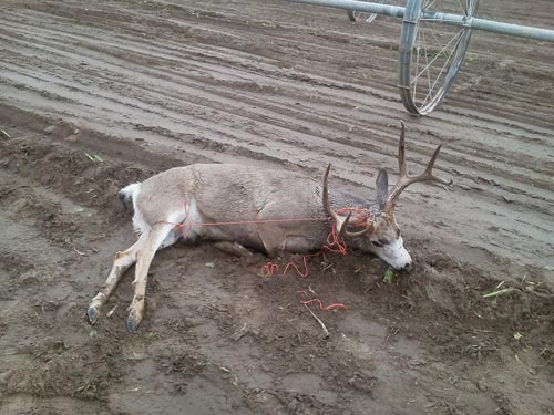 Buck deer taken in beet field