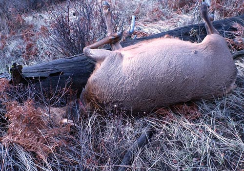 Collared elk dead and left to waste