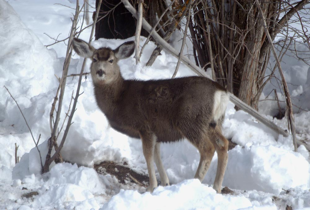 Mule deer in winter snow