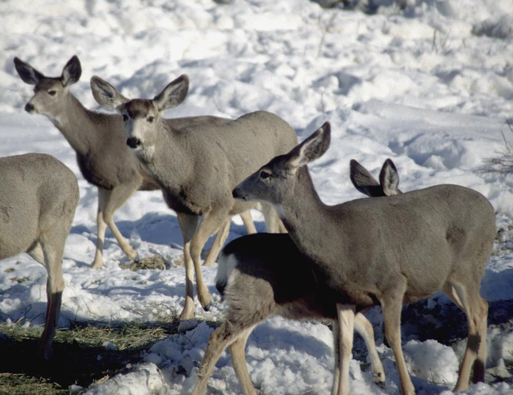 Does and fawn winter feeding on afalfa hay