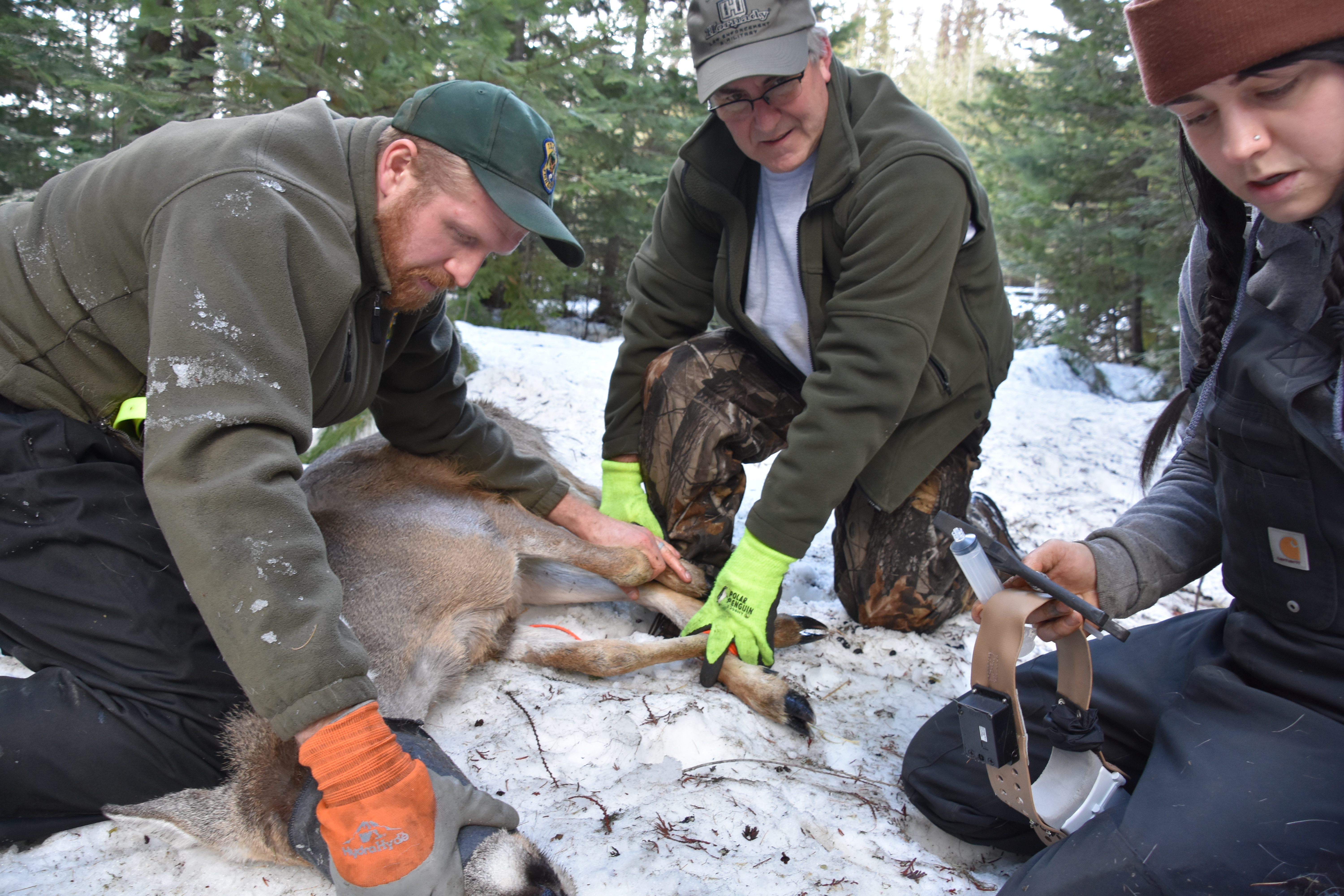 Researchers prepare to collar a white-tailed deer