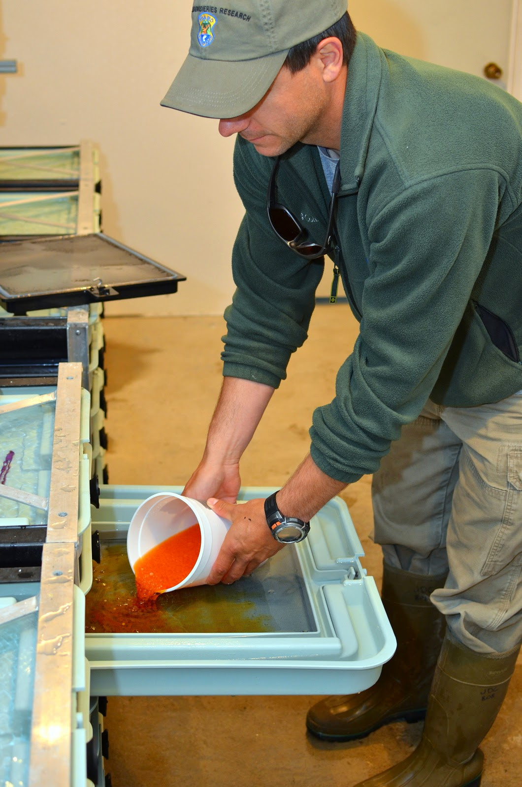 Trout eggs are transferred to rearing trays