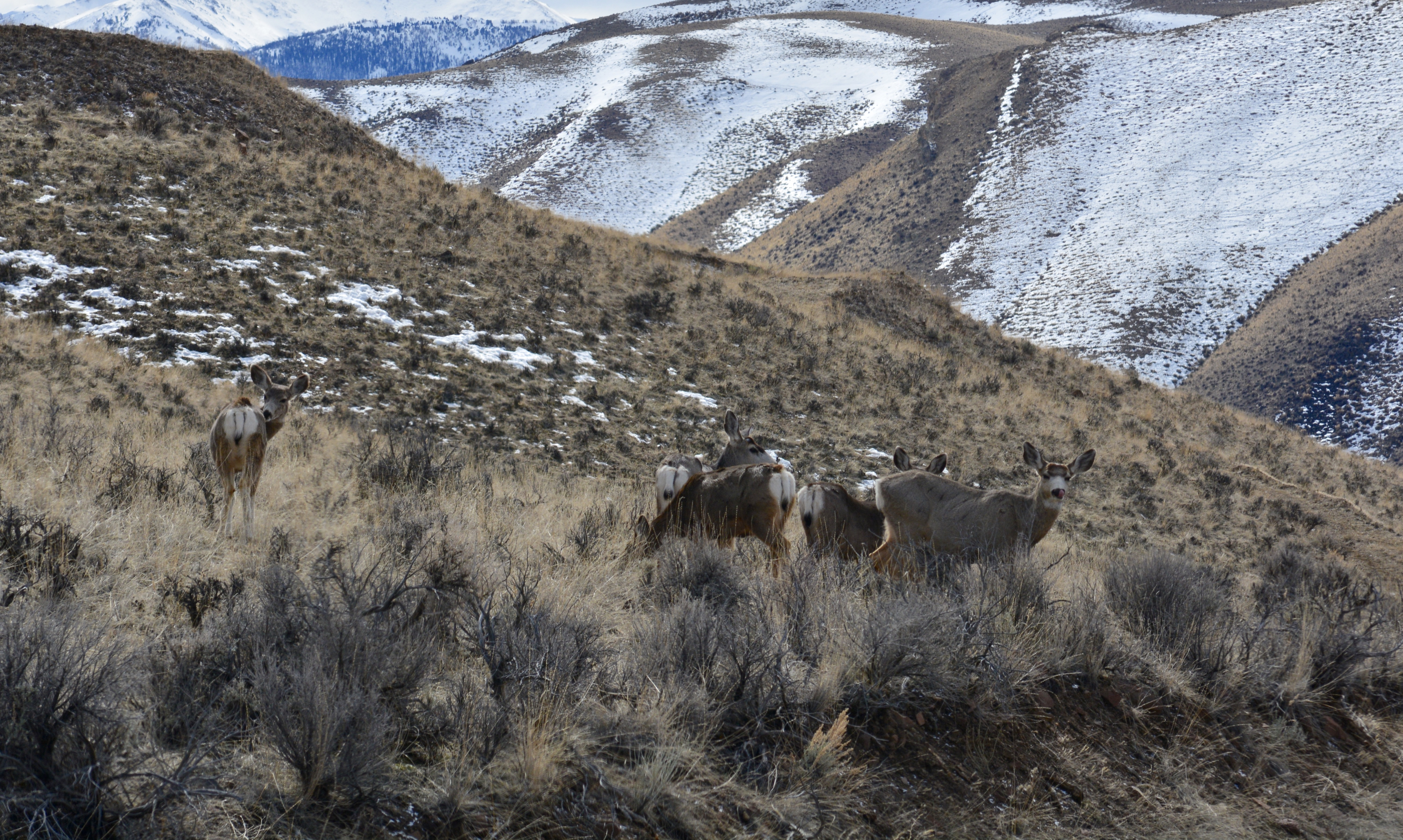 Late winter mule deer