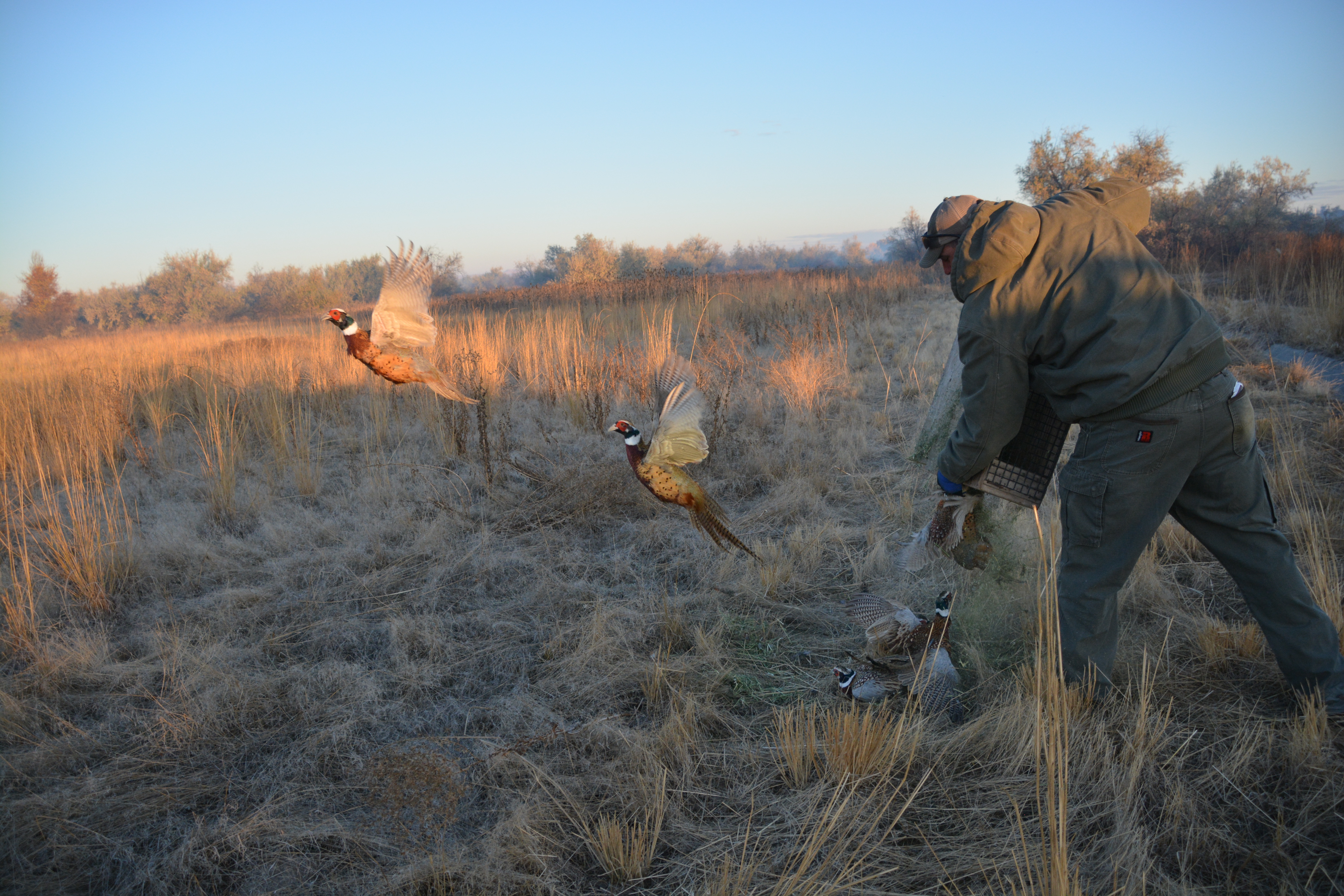 Pheasant hunting at Ft  Boise WMA: Photo gallery and video
