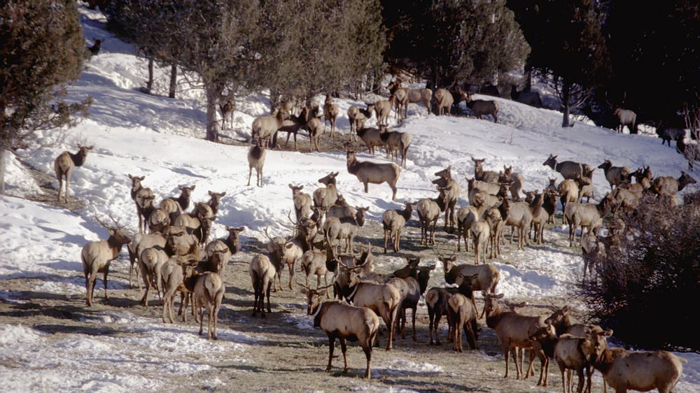 Elk in winter feedlot
