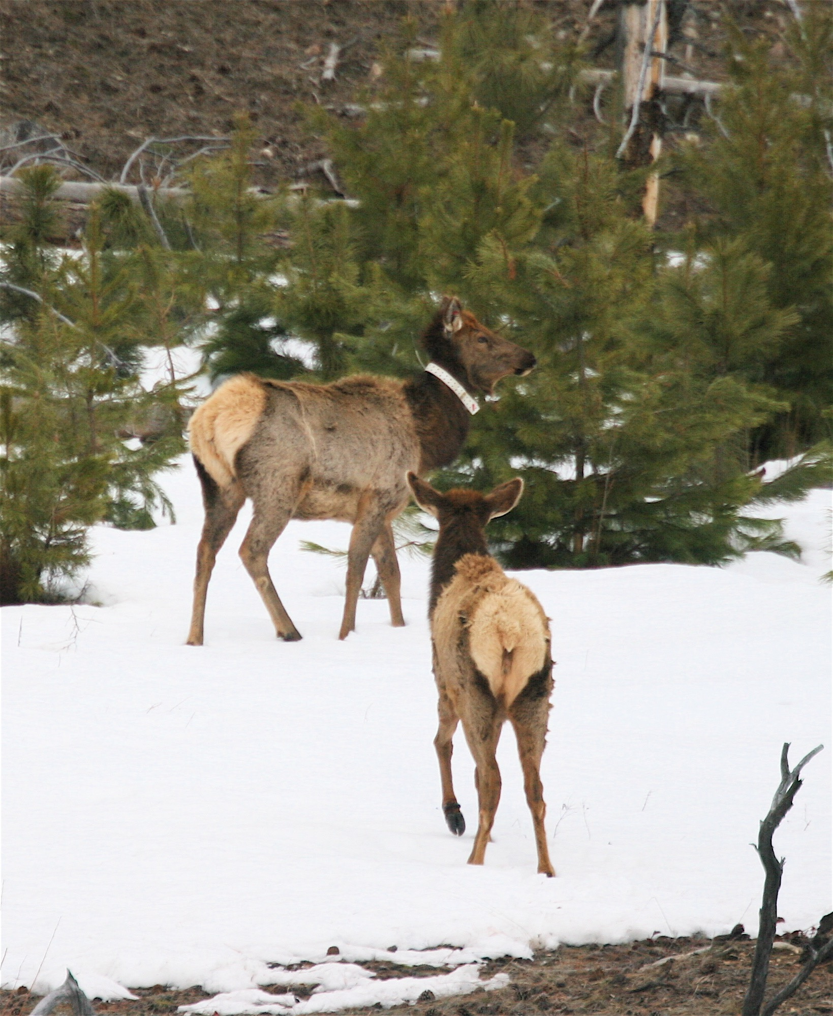 elk with collar