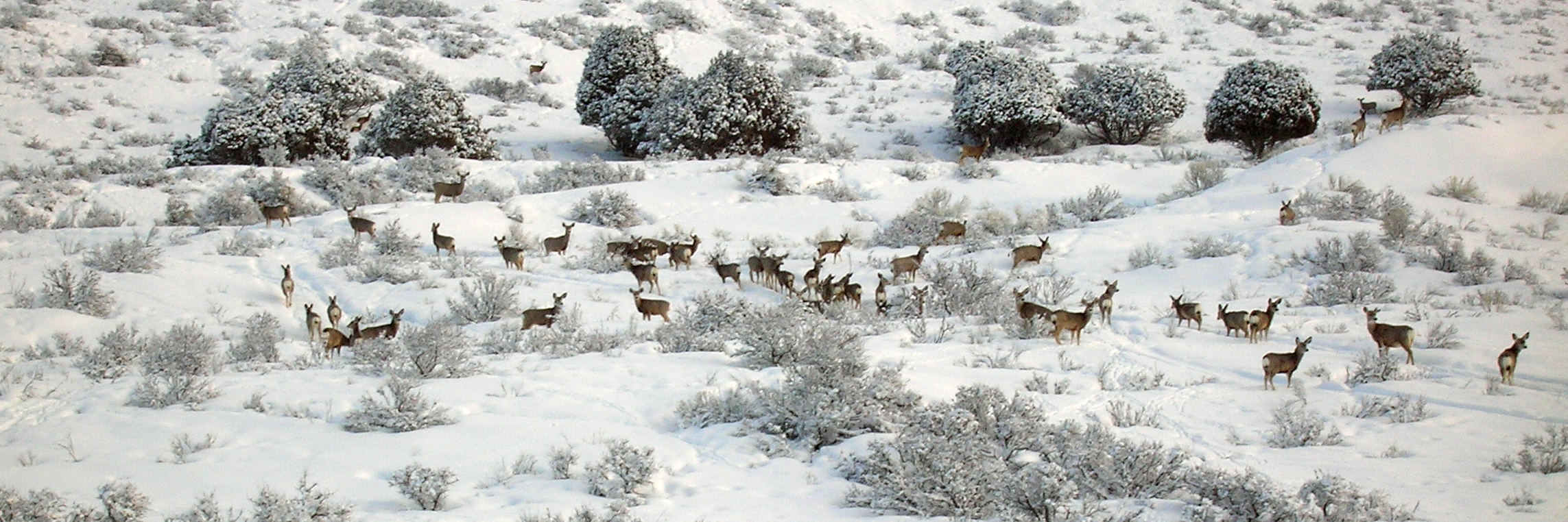 A large of mule deer herd on a snowy hill with trees and sagebrush