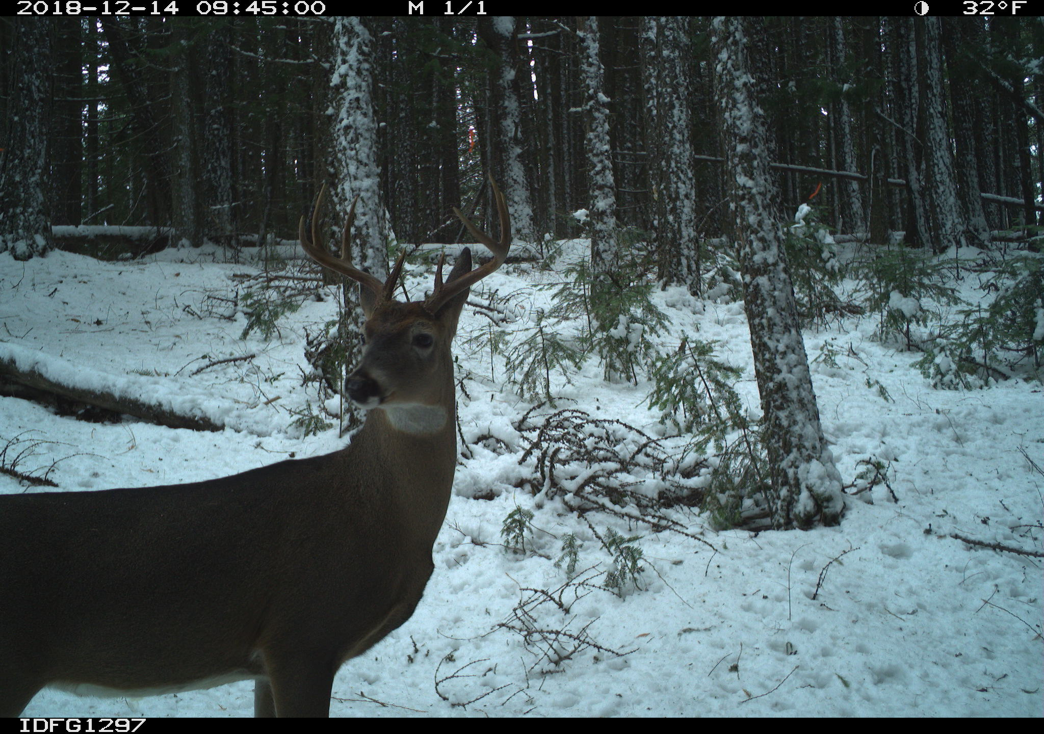 White-tailed deer camera research2.jpg