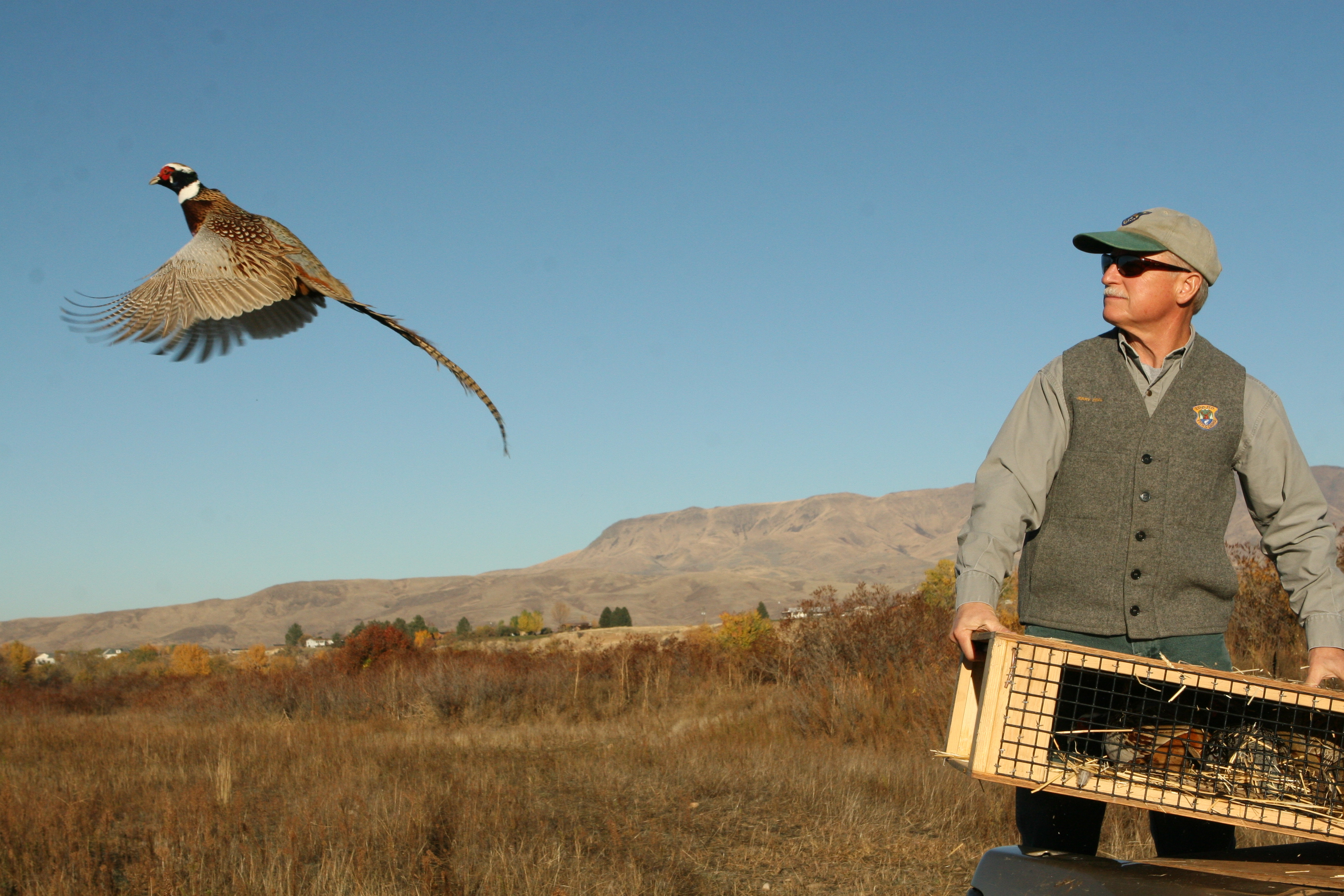 More than 12,000 pen-reared pheasants will be released on southwest Idaho WMAs this fall