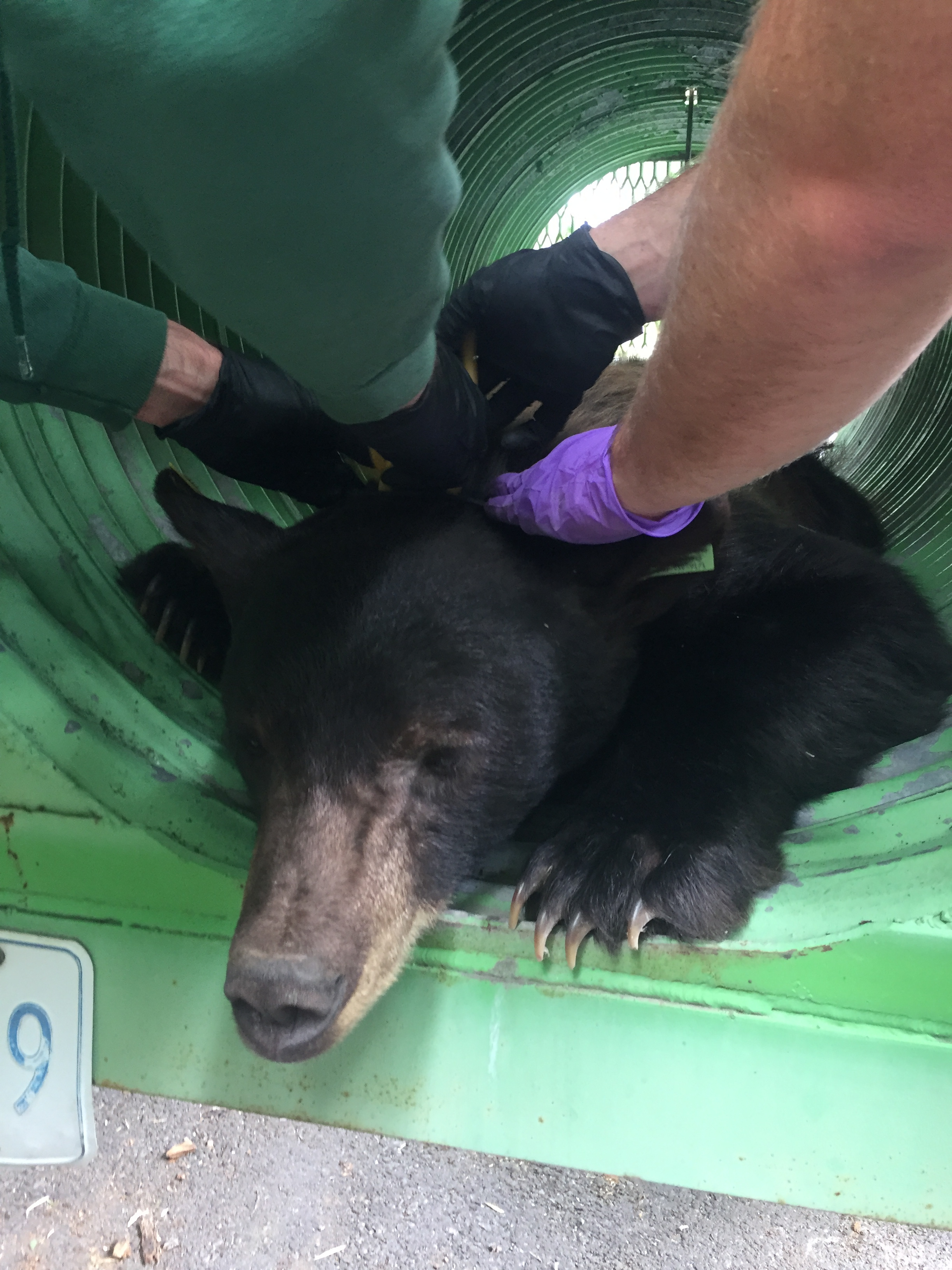 Collaring wild black bear found inside Pocatello Zoo 2018