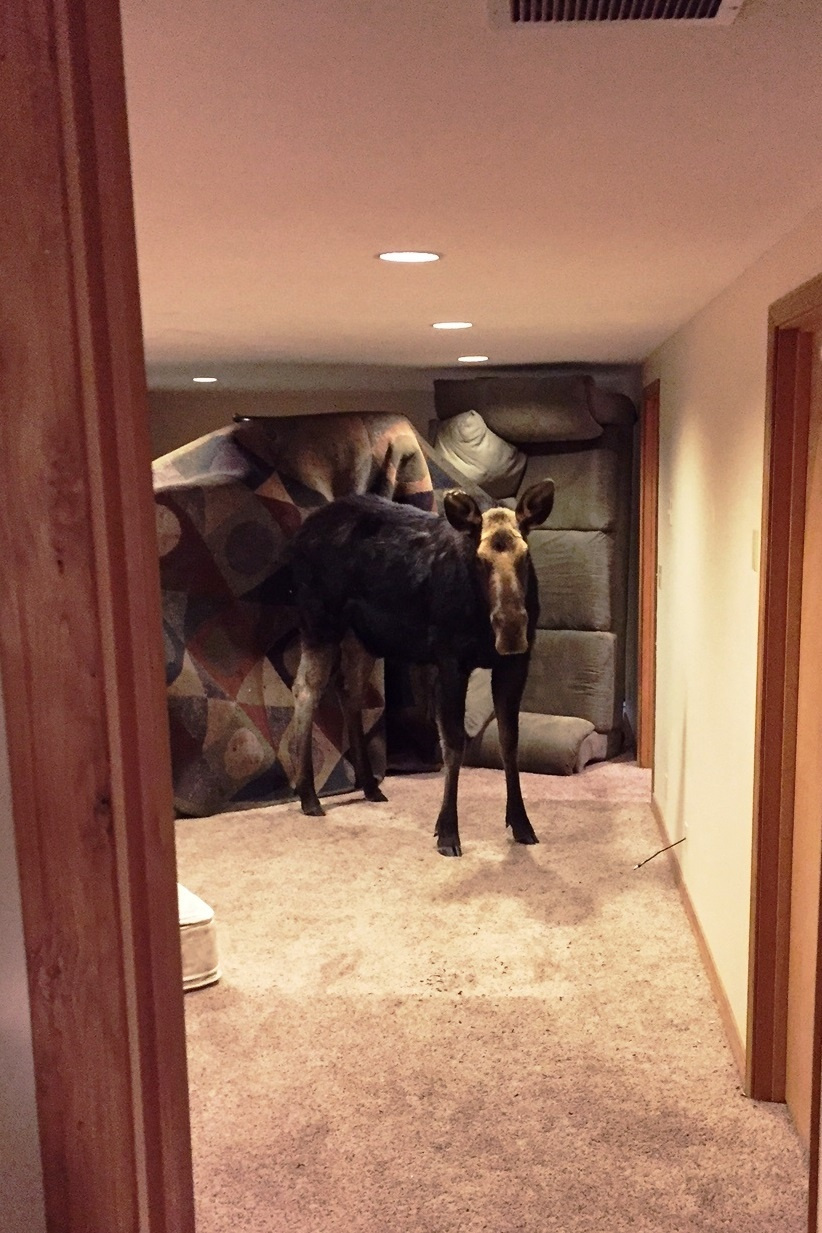 Moose trapped in basement in Hailey