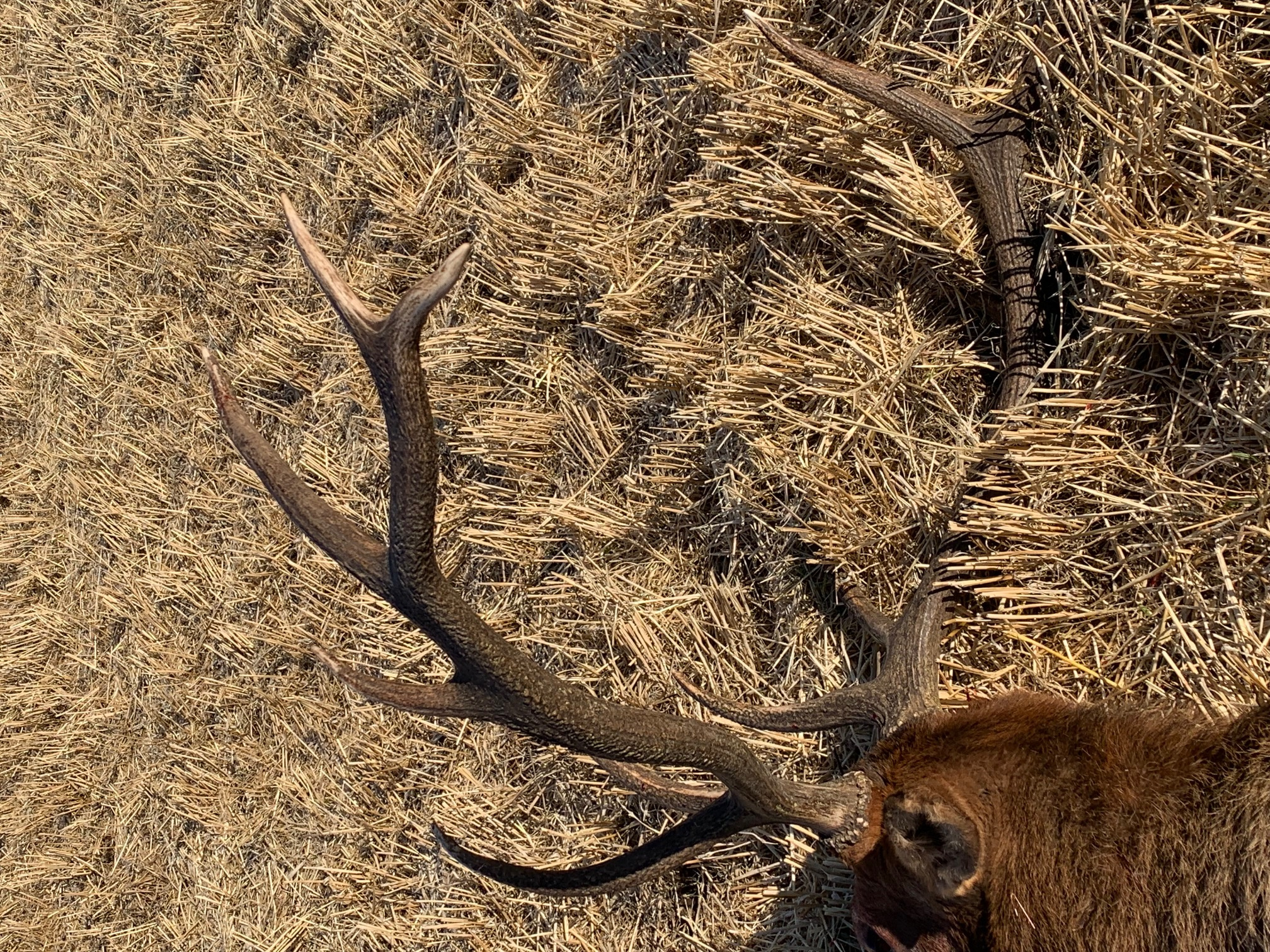 bull elk shot in Swan Valley 2019