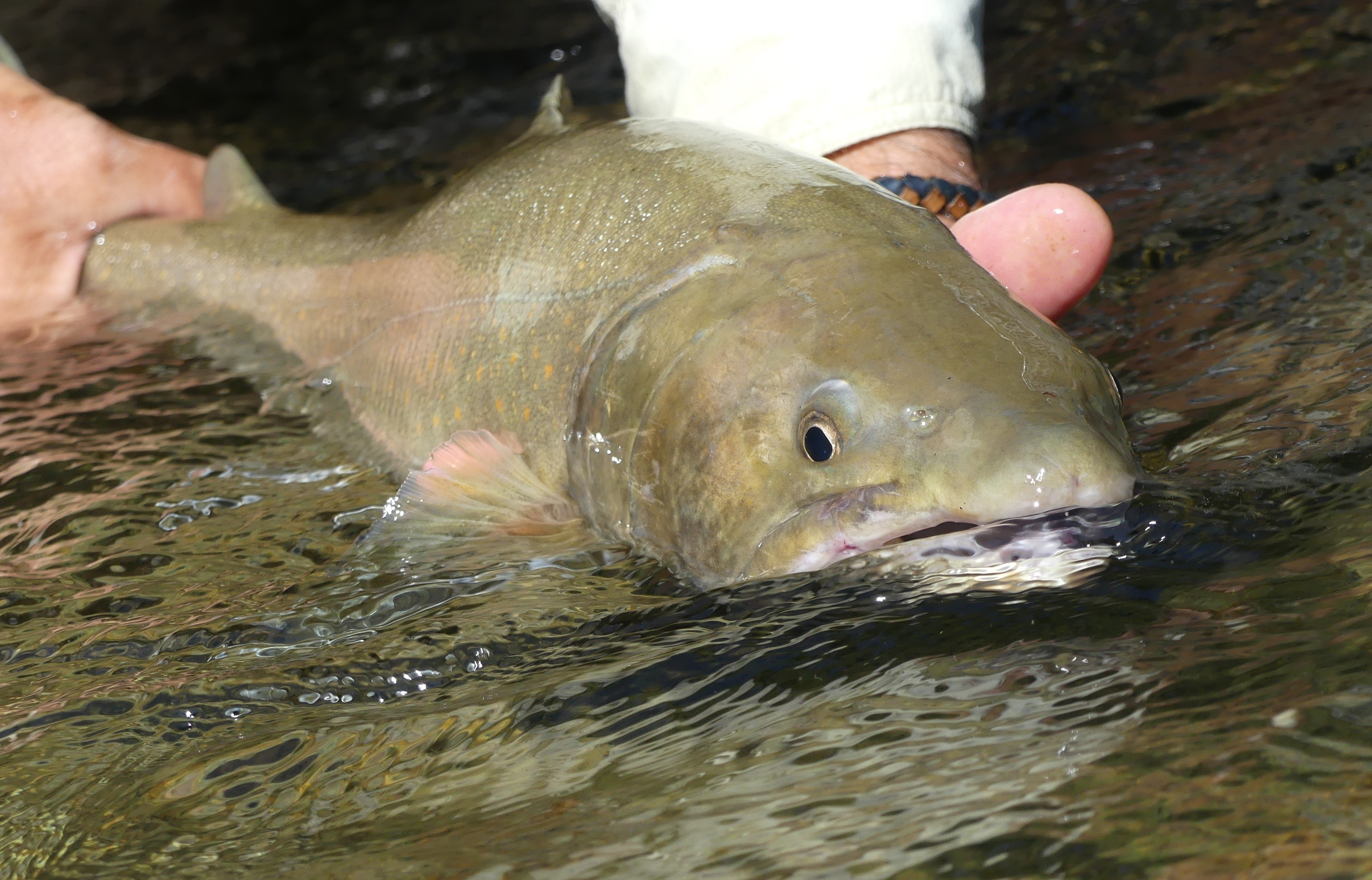 Bull trout1000820