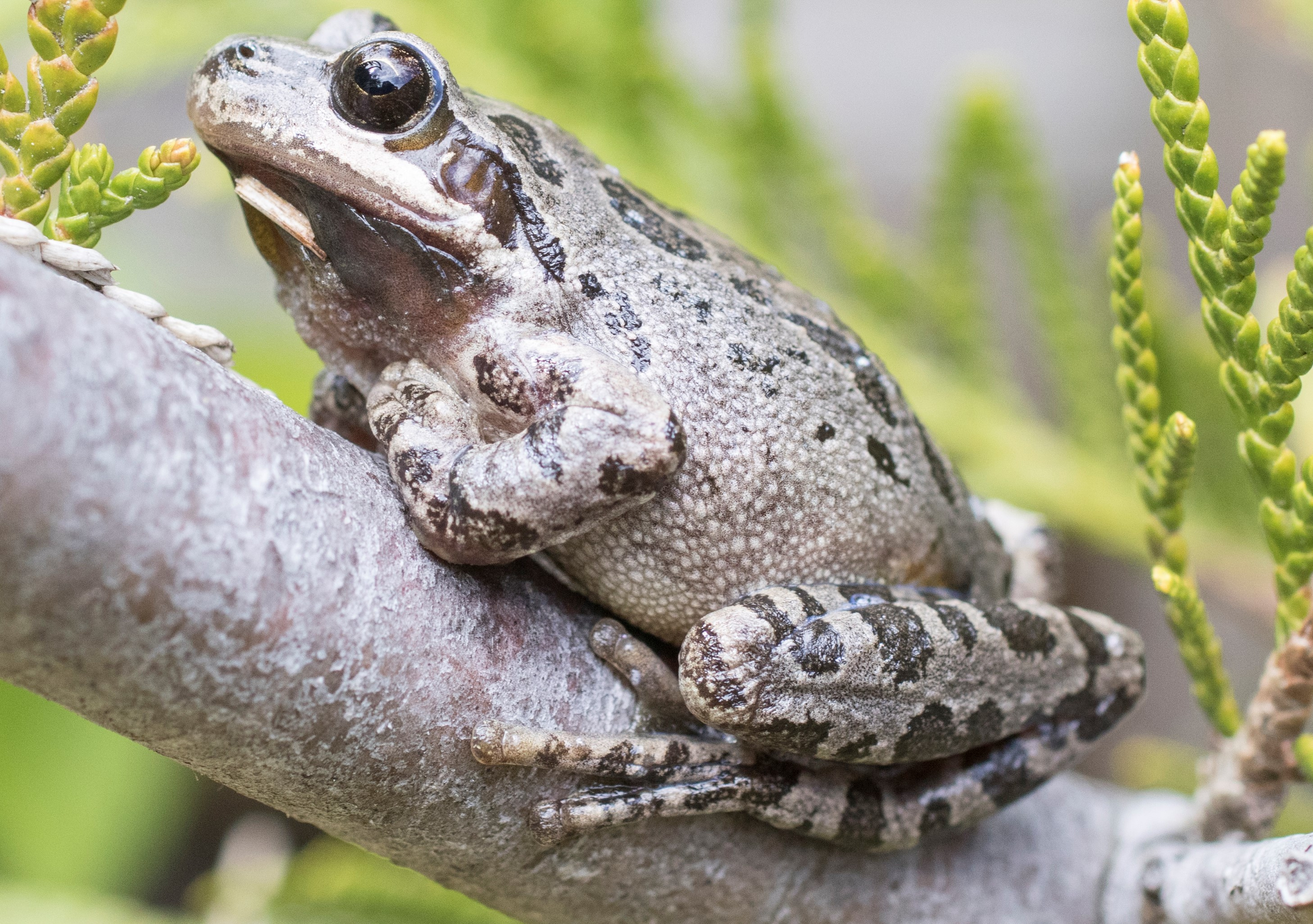 Pacific Chrous Frog