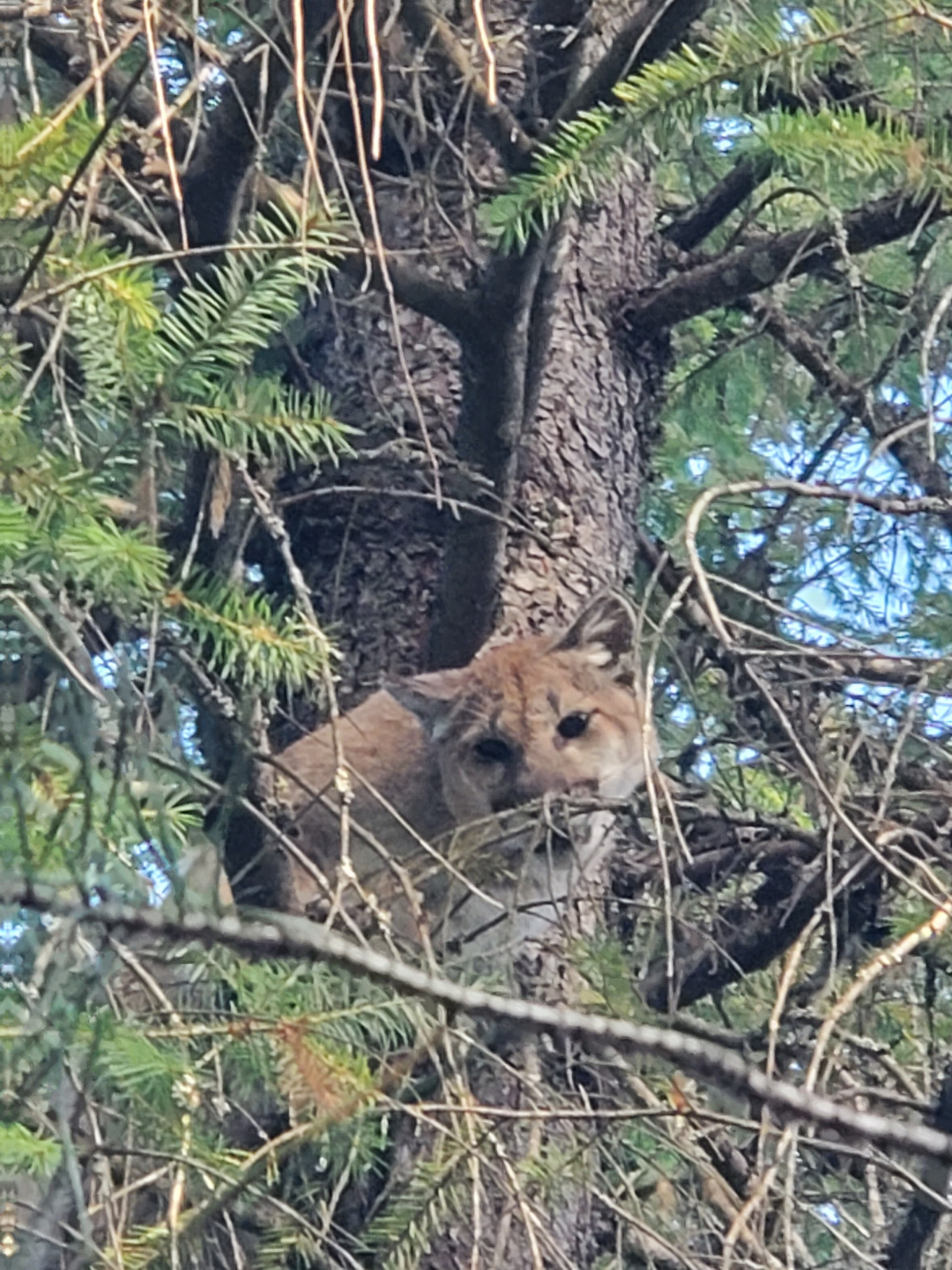 Priest River mountain lion