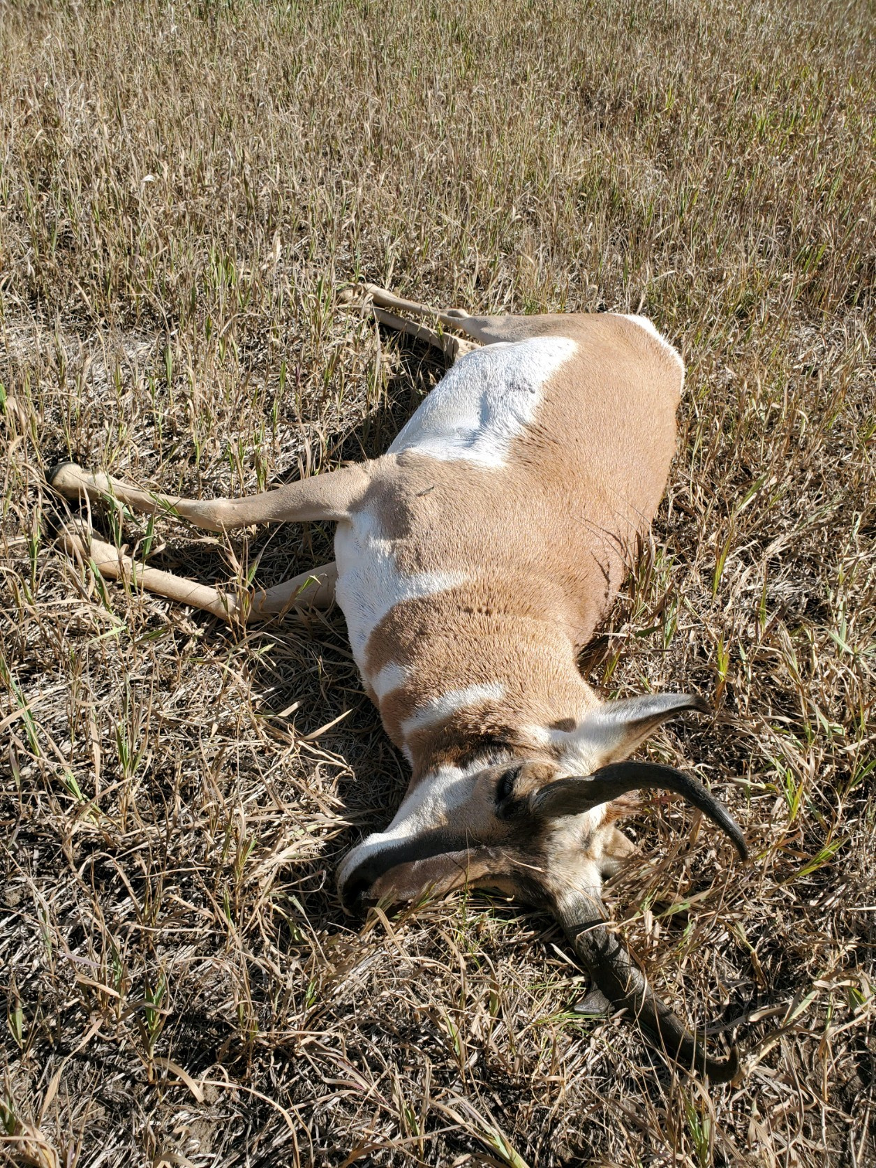 pronghorn_poached_stanley