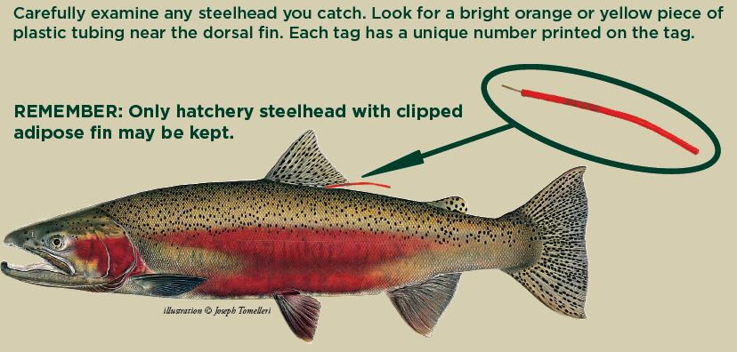 tagged_steelhead_graphic