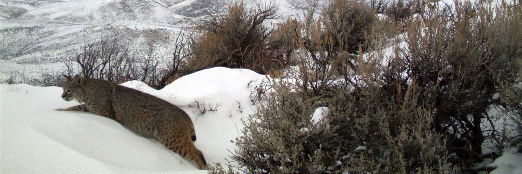 A bobcat is perched on a snowbank with sagebrush behind it.