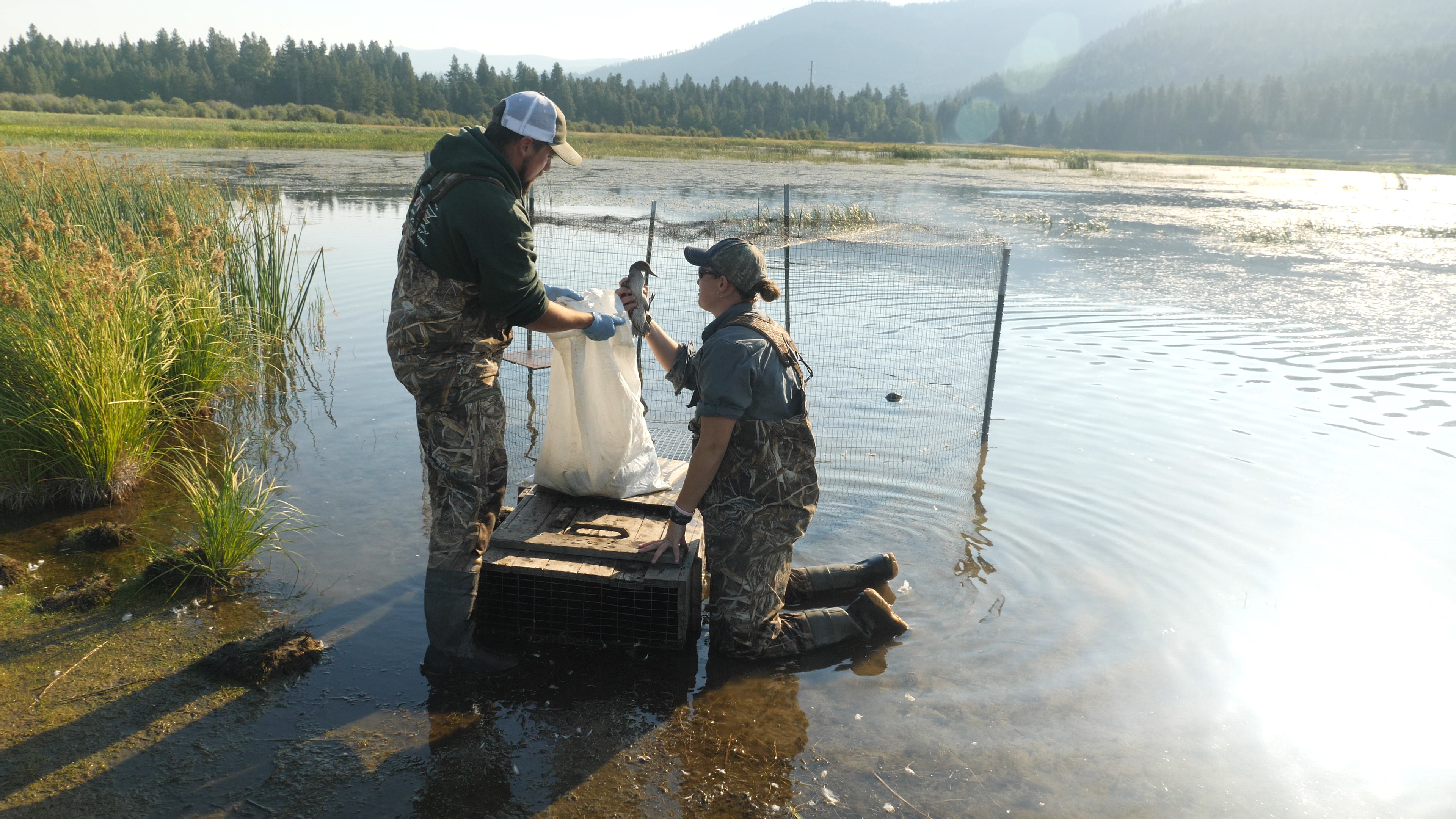 Collecting ducks from trap