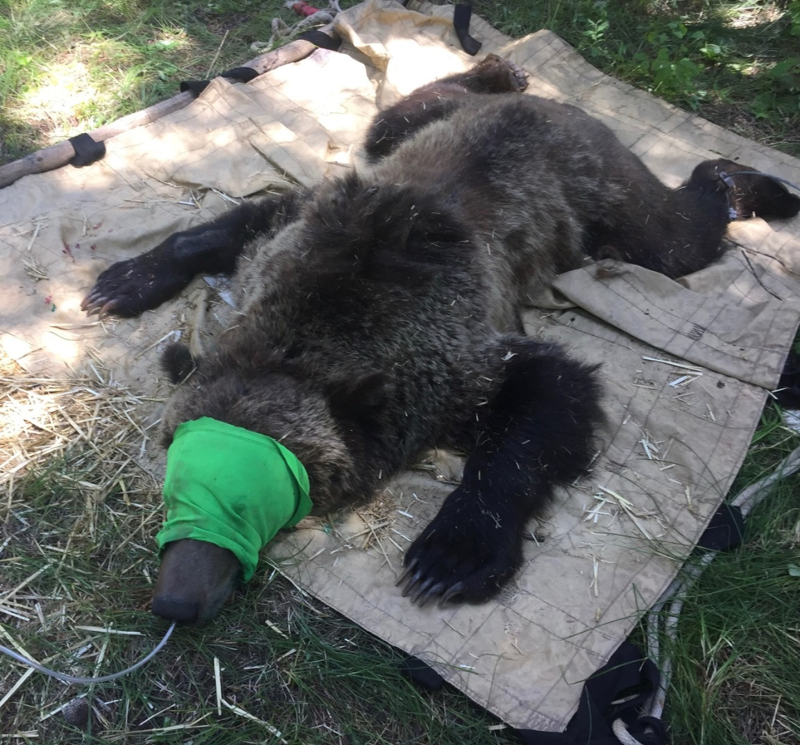 News 2018 The Yellow Pine Times Page 3 Animal Scarer Hobby Circuits And Projects Fish Game Personnel Trapped A Sub Adult Male Grizzly Bear From Mill Creek Campground In Island Park On July 11 After Receiving Multiple Reports Of