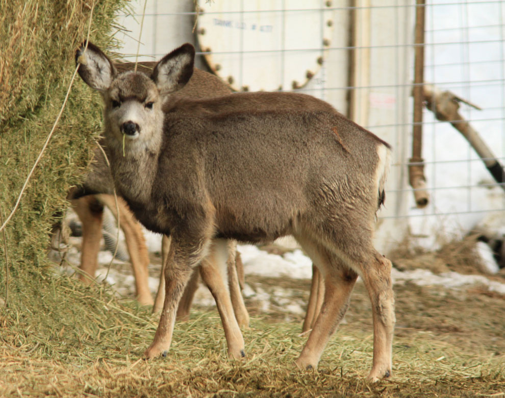 weiser_mule_deer_small