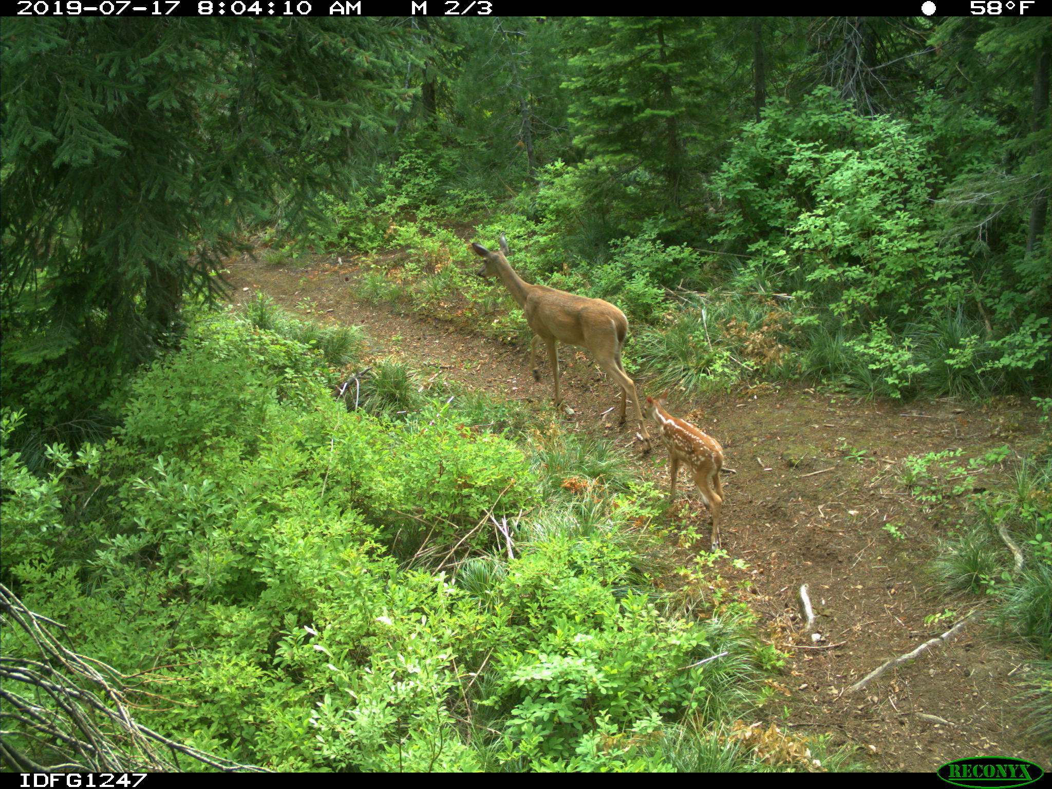 White-tailed deer camera research1.jpg