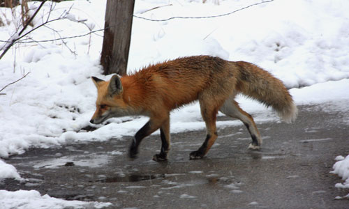 Red fox on the StreamWalk