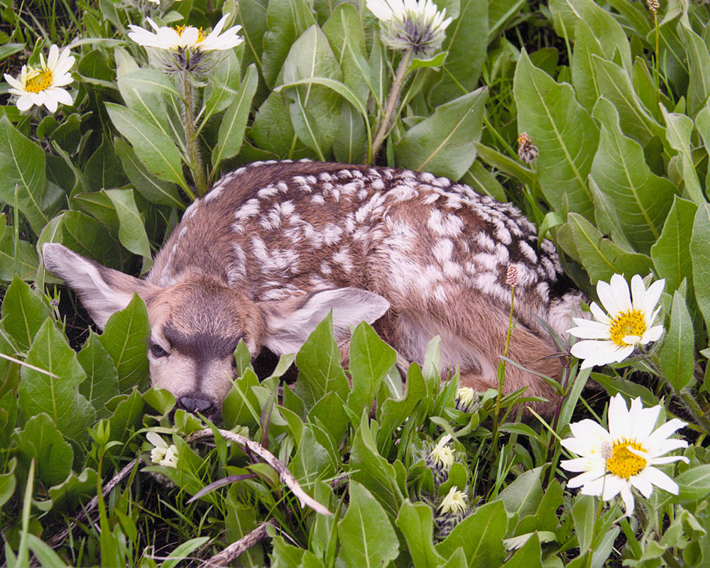 tight shot of a mule deer fawn laying in flowers May 2017