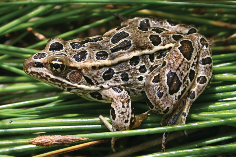 Northern Leopard frog on grass January 1980