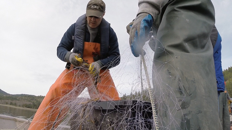 net extraction of Northern pike for research and tagging Kilarney Lake April 2015