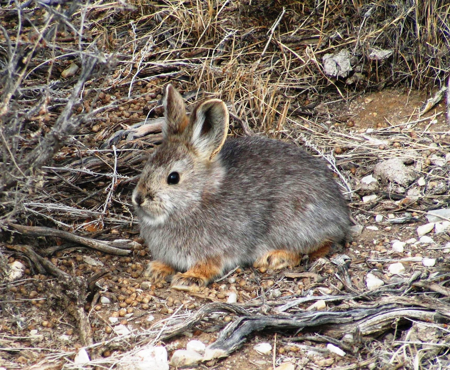 pygmy rabbit in brush May 2006
