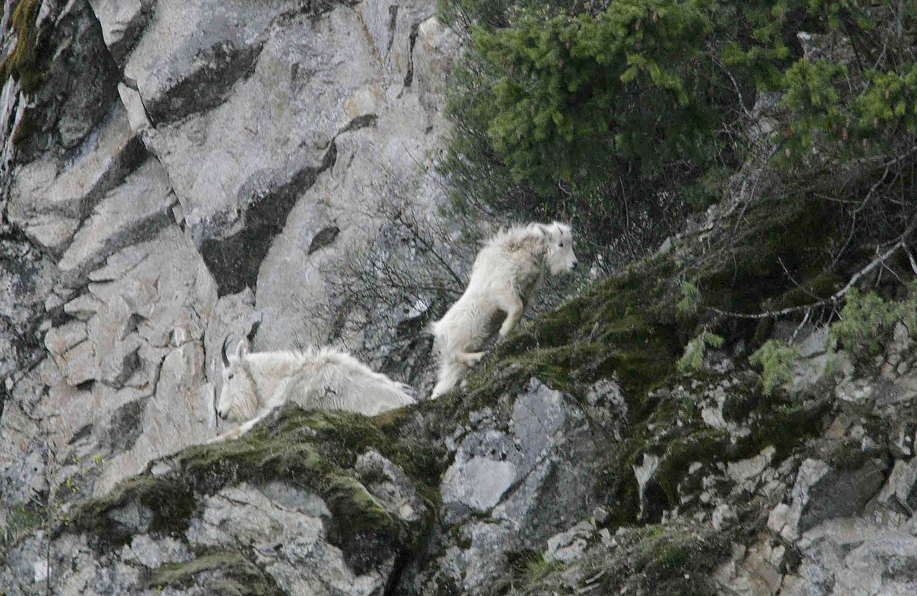 mountain goats on rocky cliffs April 2007