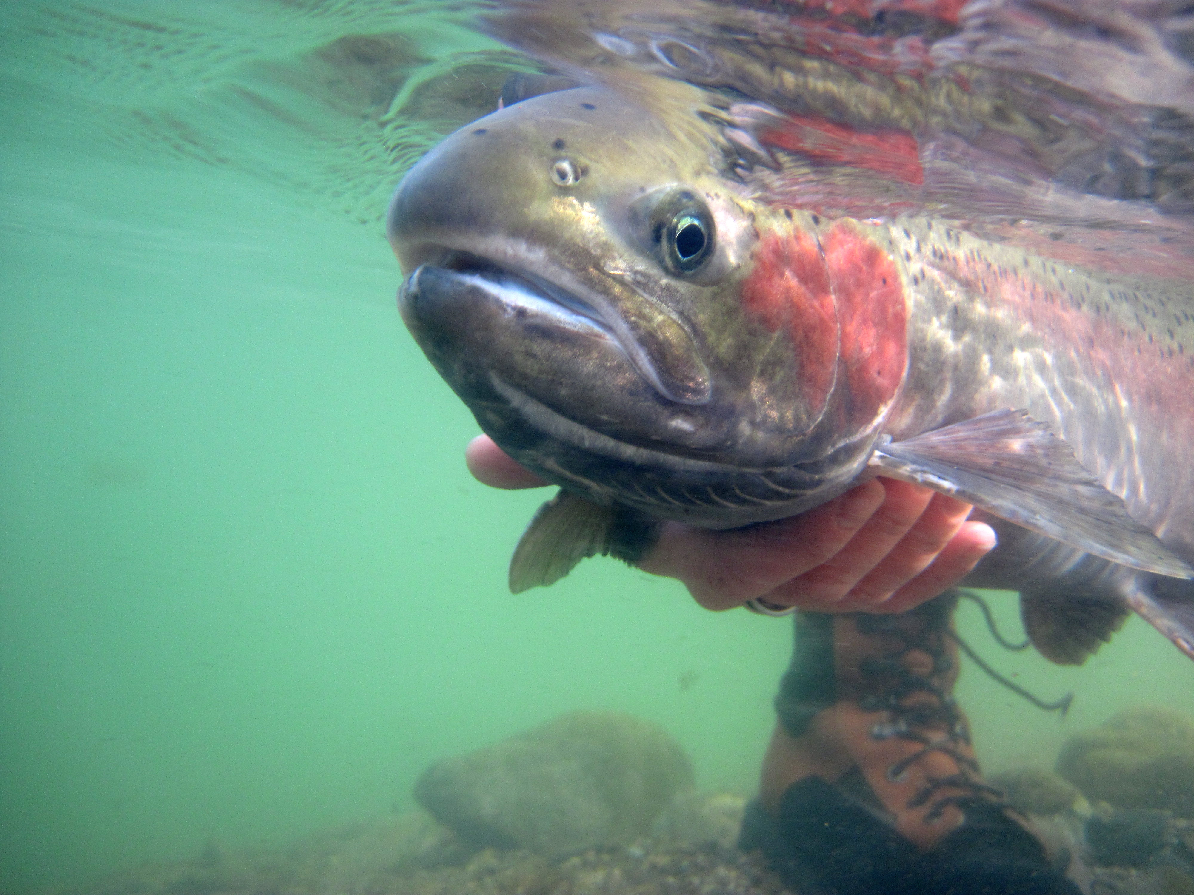 steelhead being held underwater in the Salmon drainage March 2011