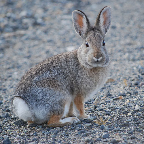 Cottontail rabbit / Photo by Justin Wilde